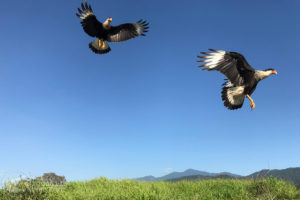 Crested Caracaras spotted on every tour