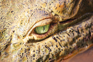 Crocodile eye up-close