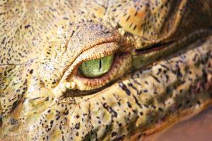 Crocodile eye up-close