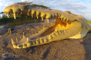 Huge crocodile teeth up-close