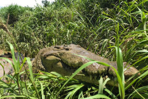 Huge American crocodile in the grass