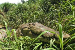Huge American crocodile in the grass