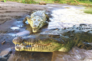 American crocodiles