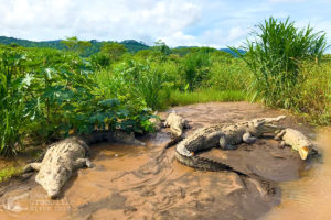 An abundance of American crocodiles on the river banks