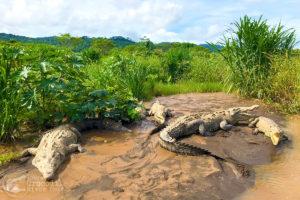 An abundance of American crocodiles on the river banks