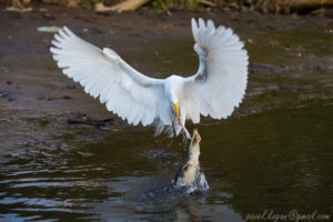 A baby crocodile and Great Egret fighting over food / Photographer: Pavel Kogan