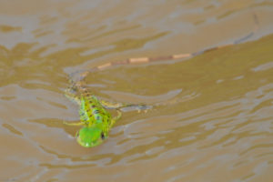 Small green iguana swimming in the river / Photographer: Thaddius Bedford