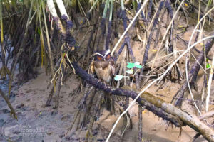 Crested Owl spotted in the mangrove forest