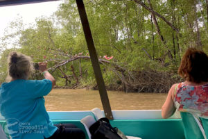 Photographing the Roseate Spoonbills in the mangrove forest