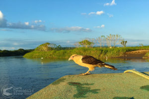 Yellow Headed Caracara on the bow of our boat