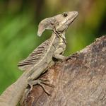 Iguanas & Lizards